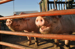Two pigs sticking their snouts through a metal fence